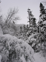 04491_snowy_christmas_trees