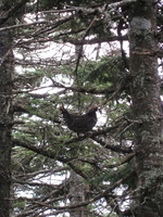 0972_perched_spruce_grouse