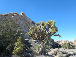 0165 joshua tree and real tree