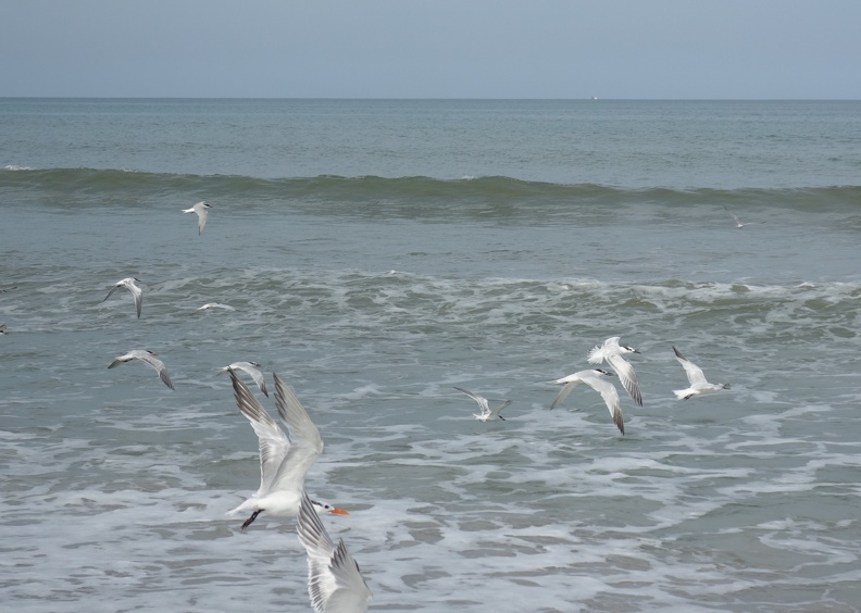 00540_flying_seagulls_crop_1.JPG