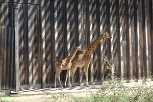 03746 two giraffes