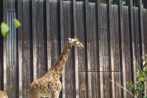 03750 giraffe with prehensile tongue
