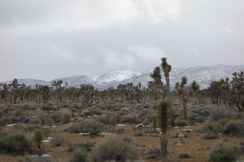 09794_joshua_tree_forest.JPG