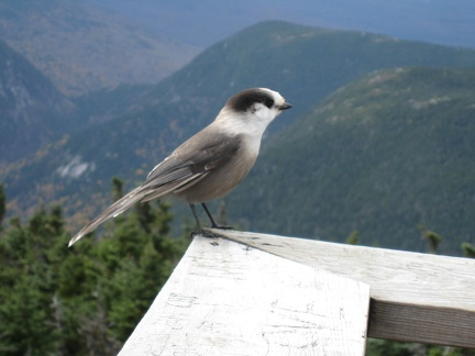 0948_grey_jay_closeup