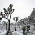 09823 snowy joshua trees at cap rock